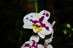 White with Purple markings moth orchid Royalty Free Stock Photos