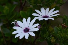 White and Purple Multi Petaled Flower Royalty Free Stock Photography