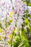 White purple orchid, Arachnostylis Chorchalood. White purple orchid, Arachnostylis Chorchalood, with water droplets, in soft blurred style, on nature blur Stock Image