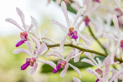White purple orchid, Arachnostylis Chorchalood. White purple orchid, Arachnostylis Chorchalood, with water droplets, in soft blurred style, on nature blur Royalty Free Stock Image