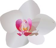 White and purple orchid flower Stock Image