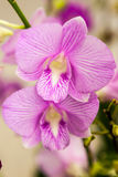 White purple orchid flowers Stock Images