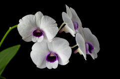 White-purple  orchid Royalty Free Stock Images