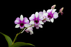 White-purple orchid Stock Images