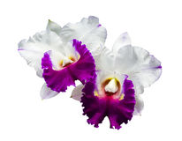 White and Purple orchid isolated Stock Photos