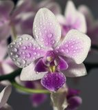 White-purple orchid phalaenopsis in the dew. royalty free stock photography
