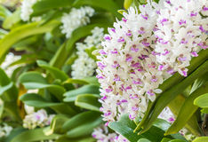 White and purple orchid, Rhynchostylis gigantea. Royalty Free Stock Photo