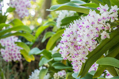 White and purple orchid, Rhynchostylis gigantea. Royalty Free Stock Photos