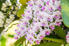 White and purple orchid, Rhynchostylis gigantea. Stock Photo
