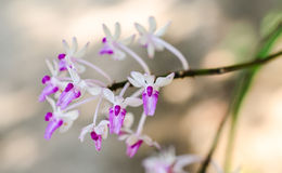 White purple Orchid Royalty Free Stock Photo