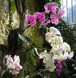 White and purple orchids Stock Image