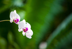 White and purple orchids. Beautiful picture of a white and purple orchid Royalty Free Stock Image