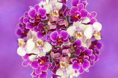 White and purple orchids. Royalty Free Stock Photos