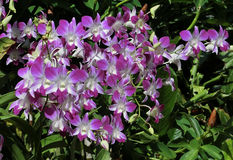 White & Purple Orchids. Singapore - August 2016 Beautiful white and purple orchids at the Singapore National Orchid Garden. This garden is located within the stock photo