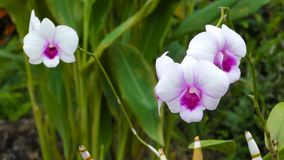 White and purple orchids sways in the wind stock footage