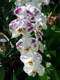 White and purple orchids Tropical orchids Royalty Free Stock Photos