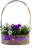 White and purple pansies in a decorative wicker basket isolated on white background Royalty Free Stock Photos