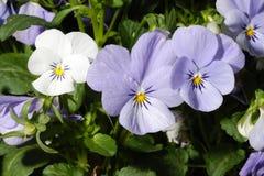 White & Purple Pansies Royalty Free Stock Photos