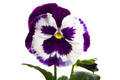White purple pansy Royalty Free Stock Image