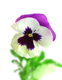 White-purple pansy flower Stock Photos
