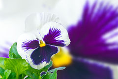 White purple pansy Royalty Free Stock Photography