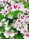 White with purple pelargonium geranium flowers. White with purple pelargonium grandiflorum geranium flowers in bloom during early summer stock photos