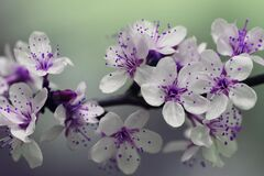 White and Purple Petal Flower Focus Photography Stock Image