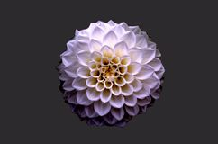 White and Purple Petaled Flower Royalty Free Stock Photos
