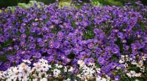 White and Purple Petaled Flowers at Daytime Stock Photo