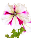 White with purple petunia flower Stock Images