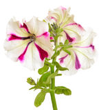 White with purple petunia flower on white background Stock Image