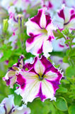 White and purple petunia flowers Royalty Free Stock Photography