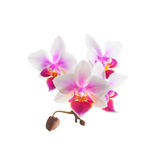 White purple phalaenopsis orchid flowers, close up Royalty Free Stock Photography