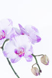 White and purple Phalaenopsis orchids and buds Royalty Free Stock Photo