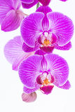 White and Purple Phalaenopsis Orchids Stock Image