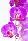 White and Purple Phalaenopsis orchids Royalty Free Stock Photography