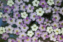 White and purple picked flowers floating on water Royalty Free Stock Photo