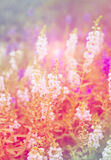 White purple pink blue flowers salvia colorful Stock Photography