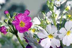 White and Purple Primula Stock Image