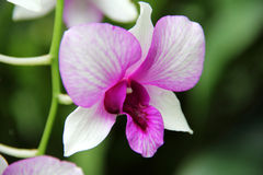 White and Purple Red Butterfly Orchid. Also known as moth orchid. Captured under the natural environment, green background. White petals with dark red center Stock Photo