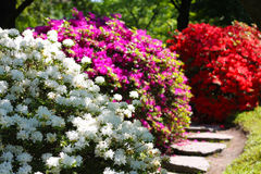 White, purple and red flowering bushes Royalty Free Stock Photography