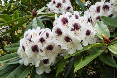 White and purple rhododendron flowers. Large trusses of white Rhododendron flowers marked with deep wine purple royalty free stock images