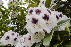 White and purple rhododendron flowers. Stock Photography