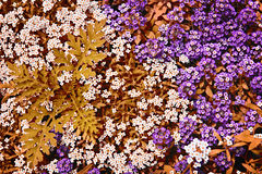 White and purple rock cress flowers Stock Photos
