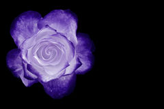 White and purple rose isolated on black Royalty Free Stock Photos