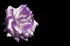 White and purple rose isolated on black Royalty Free Stock Images