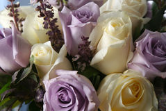 White and purple roses. Beautiful white and purple roses in bloom arranged in bouquet Stock Image