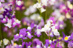 White and Purple small flowers Royalty Free Stock Photos