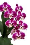 Phalaenopsis Royalty Free Stock Photo