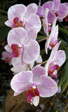White purple spotted phalenopsis orchid. A phalenopsis orchid with beautiful blooms Royalty Free Stock Images